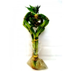 "6"" heart shape lucky bamboo"