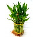 L 3 tier lucky bamboo